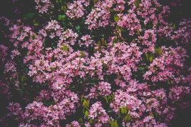 Bush with pink flowers