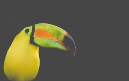 Closeup Toucan on a black background